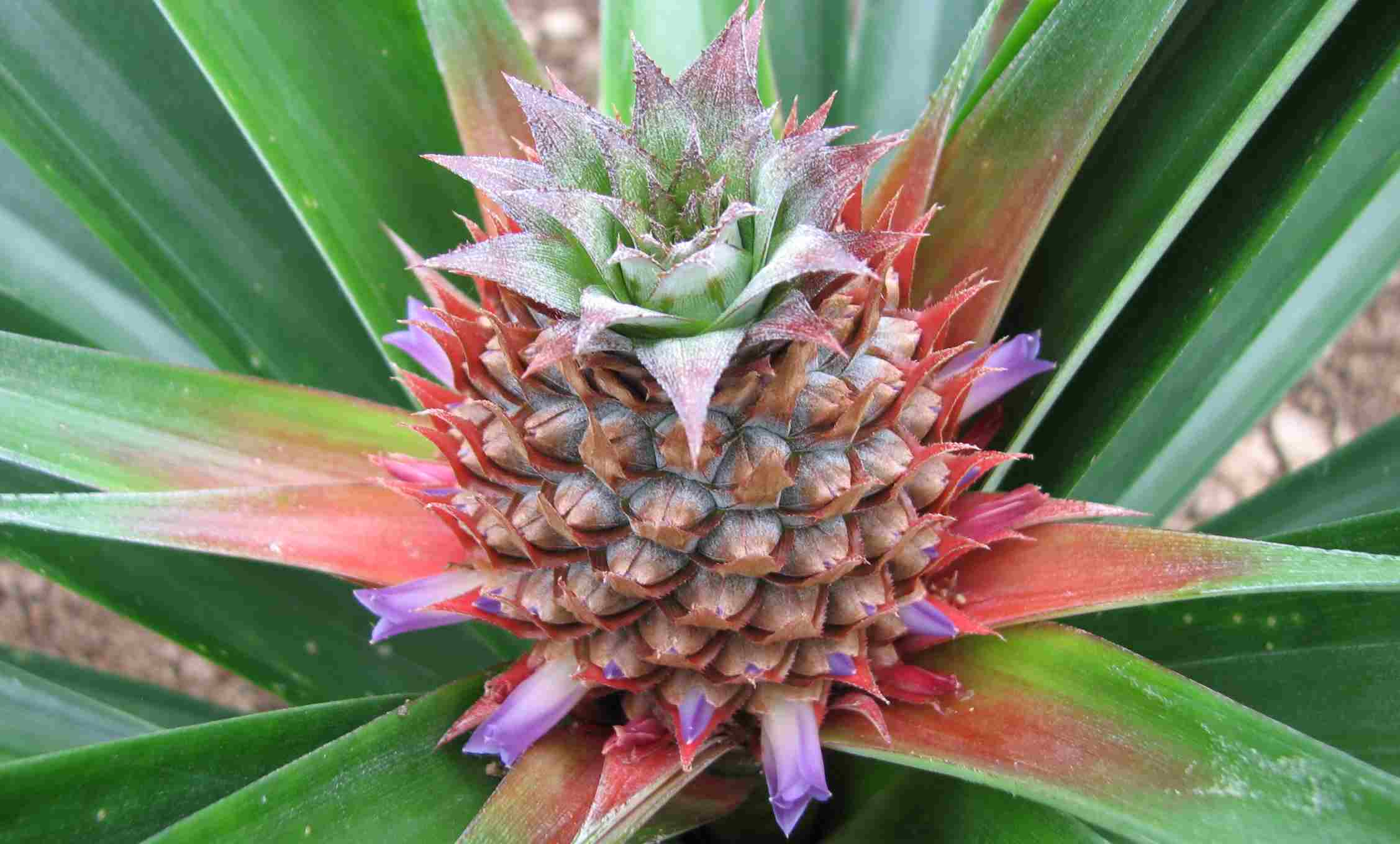 Europese ananas S. Miguel